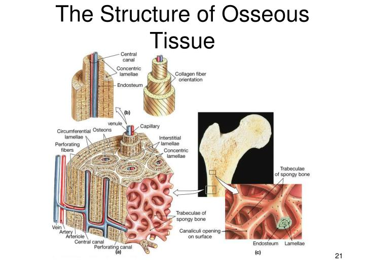 The Structure of Osseous Tissue