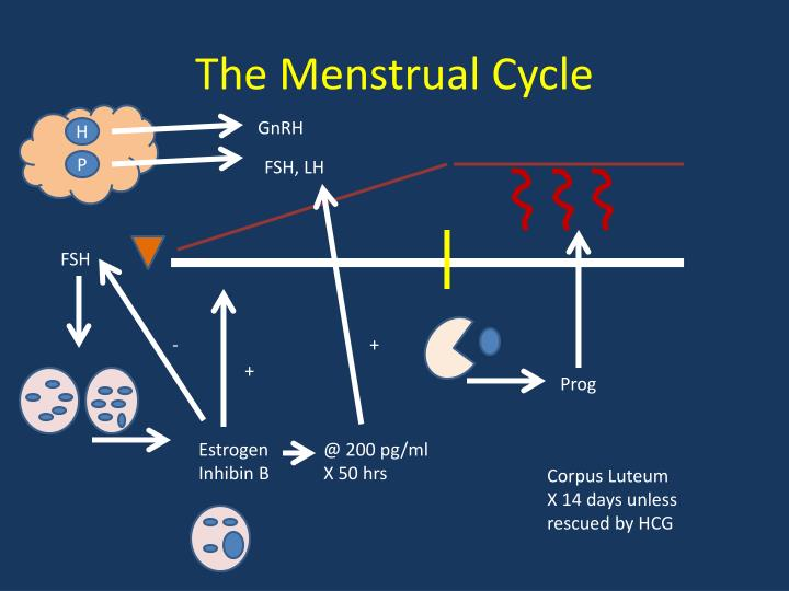 the menstrual cycle The menstrual cycle is complex and controlled by many different glands and the hormones that these glands produce the four phases of the menstrual cycle are menstruation, the follicular phase, ovulation and the luteal phase common menstrual problems include heavy or painful periods and.