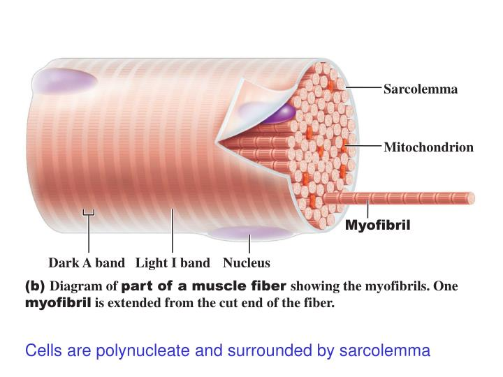 causes of myofibril hypertrophy More precisely we will look at sarcoplasmic hypertrophy, and myofibrillar hypertrophy sarcoplasmic hypertrophy (common in bodybuilding) involves the growth of the sarcoplasm (fluid like substance) and non-contractile proteins that do not directly contribute to muscular force production.