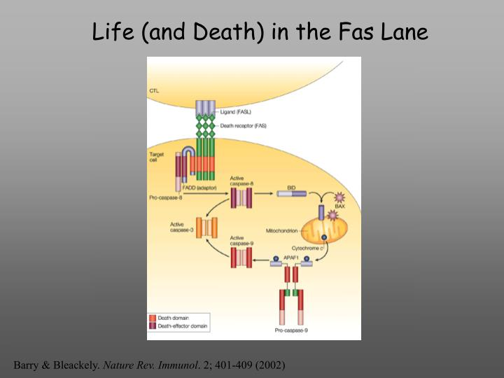 Life (and Death) in the Fas Lane