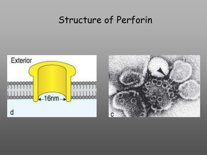 Structure of Perforin