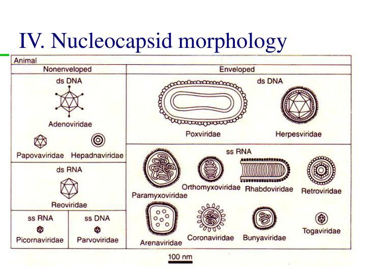 IV. Nucleocapsid morphology