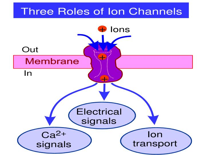 Three Roles of ion channels