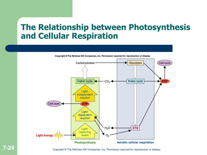 photosynthesis aerobic respiration Respiration respiration is the breakdown of glucose to make energy using oxygen photosynthesis photosynthesis is the process through which plants make food for themselves in form of glucose.