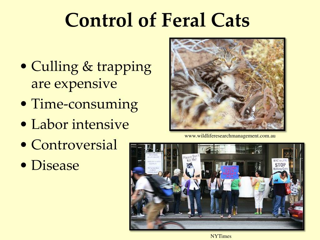 Ppt Feral Cats Amp Bird Extinctions On Islands Powerpoint Presentation Id 1721284