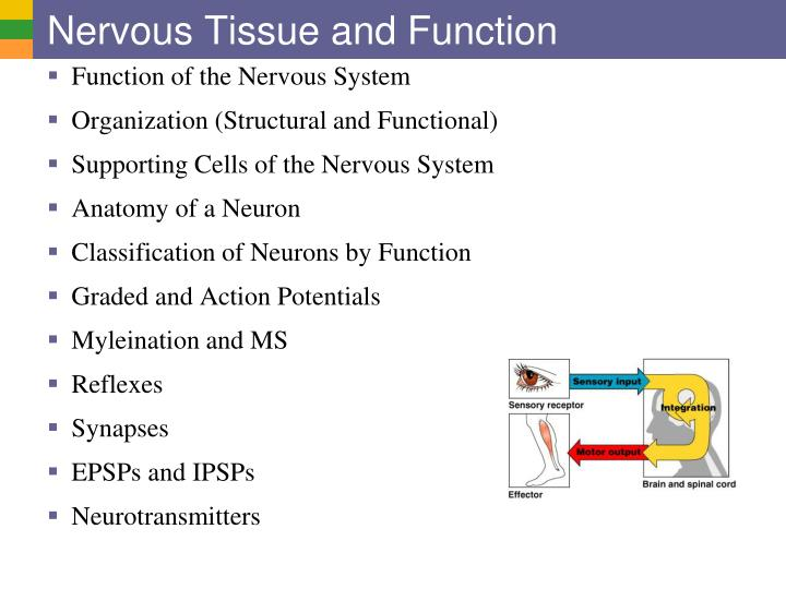 nervous tissue and function n.