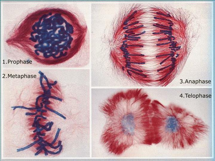 1.Prophase