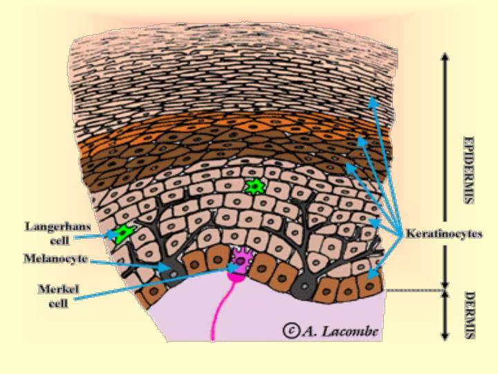 Your skin hair and nails make up your integumentary system integument means covering