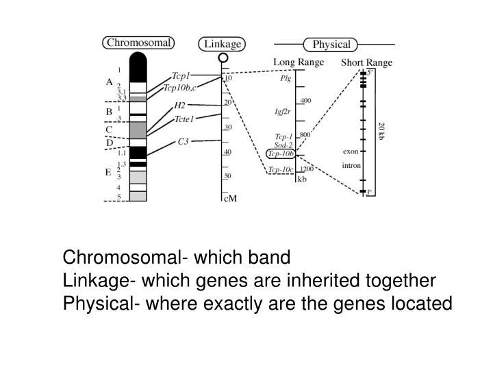 Chromosomal- which band