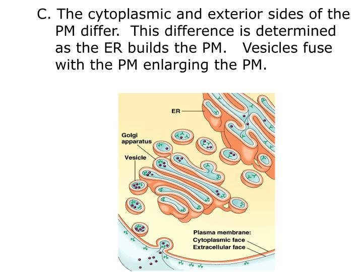 C. The cytoplasmic and exterior sides of the