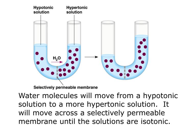 Water molecules will move from a hypotonic