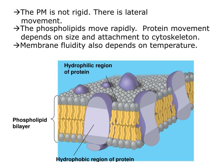The PM is not rigid. There is lateral