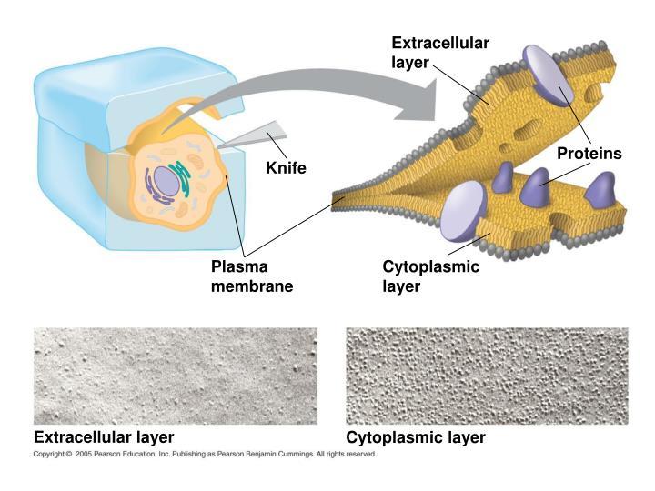 Extracellular