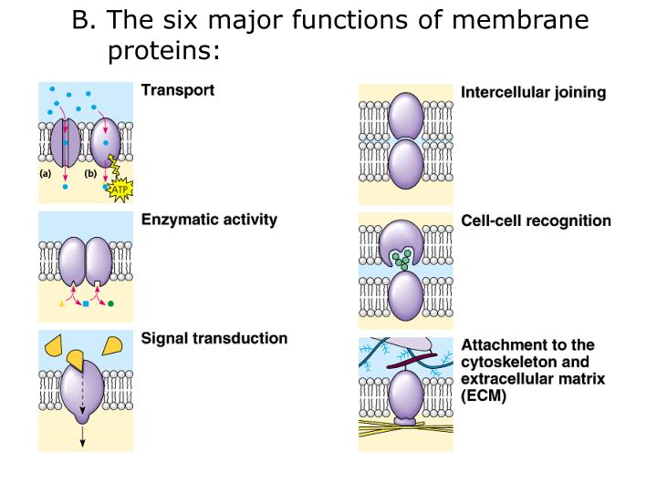 B. The six major functions of membrane