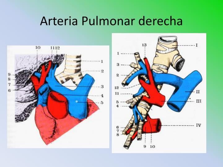 Arteria Pulmonar derecha