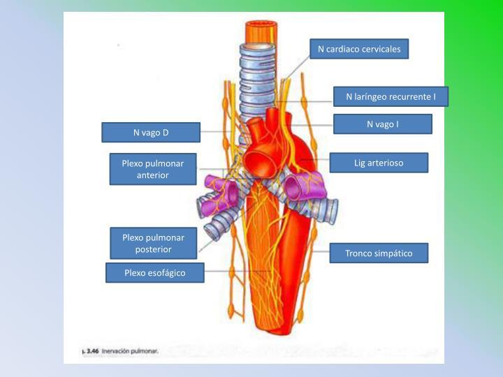 N cardiaco cervicales
