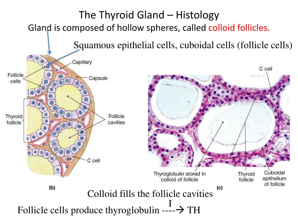 Ppt Production Regulation And Action Of Thyroid Hormones