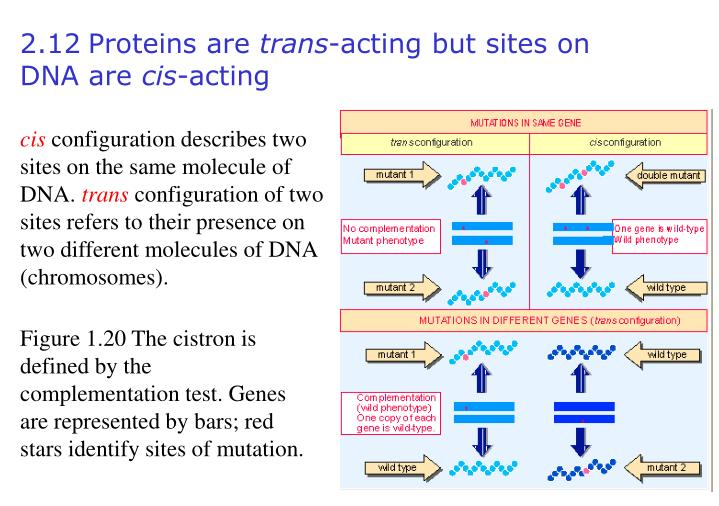 Figure 1.20 The cistron is defined by the complementation test. Genes are represented by bars; red stars identify sites of mutation.