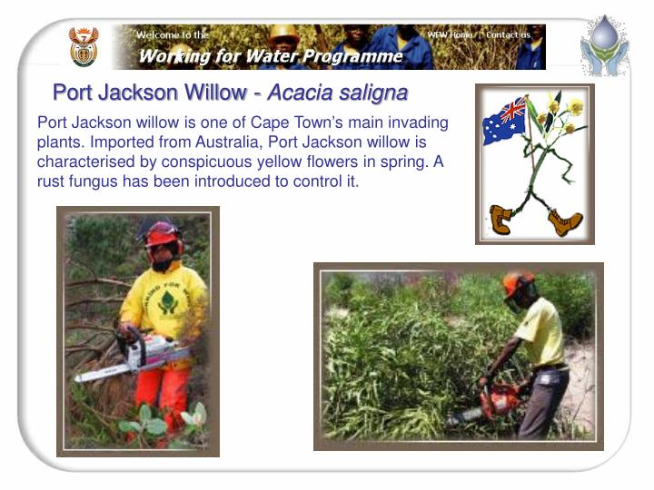 Port Jackson Willow -