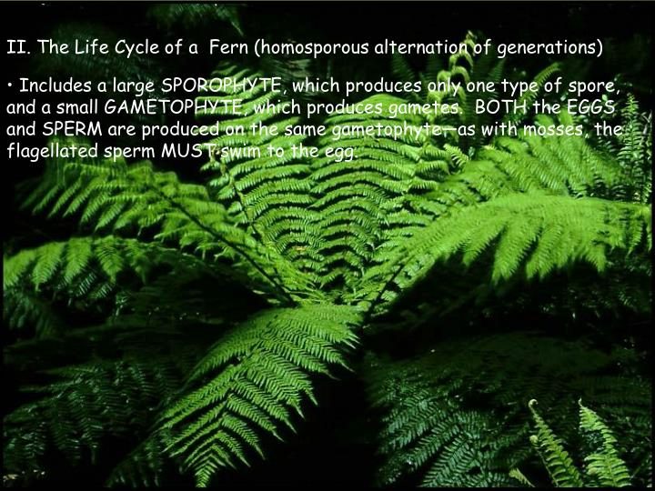 II. The Life Cycle of a  Fern (homosporous alternation of generations)