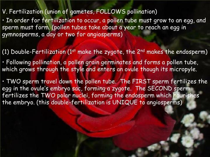 V. Fertilization (union of gametes, FOLLOWS pollination)