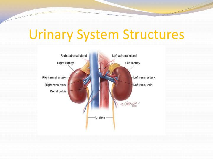 Ppt urinary system structures powerpoint presentation id1747895 urinary system structures toneelgroepblik Image collections
