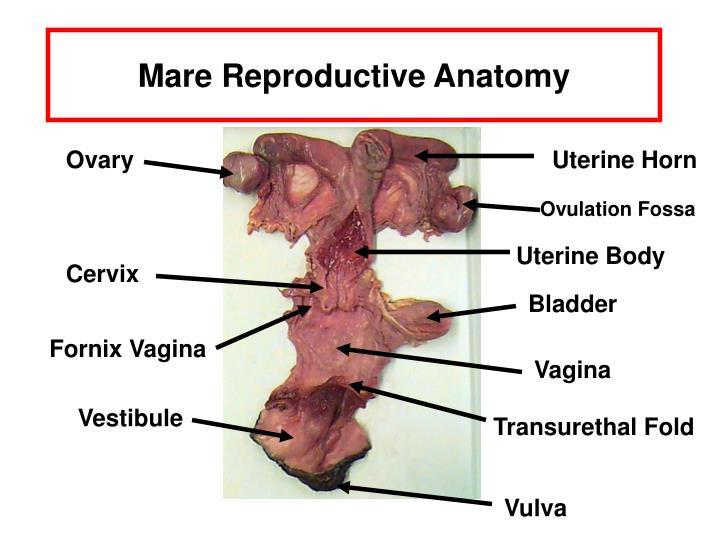 Fine Male Horse Reproductive Anatomy Illustration - Anatomy And ...