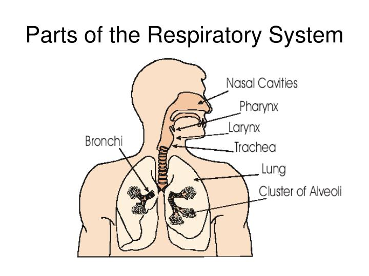 PPT - Parts of the Respiratory System PowerPoint Presentation - ID ...