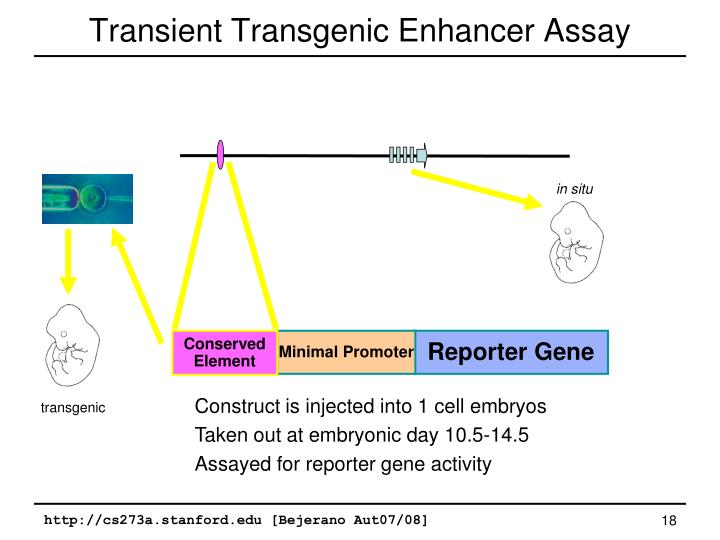 Transient Transgenic Enhancer Assay