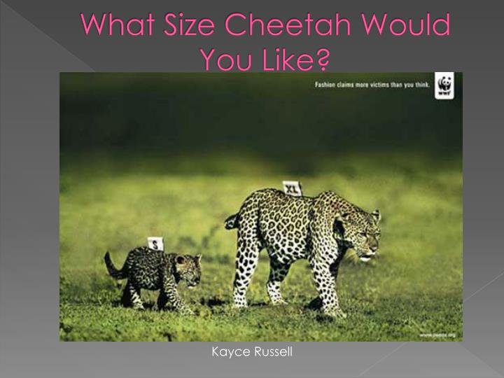 What size cheetah would you like