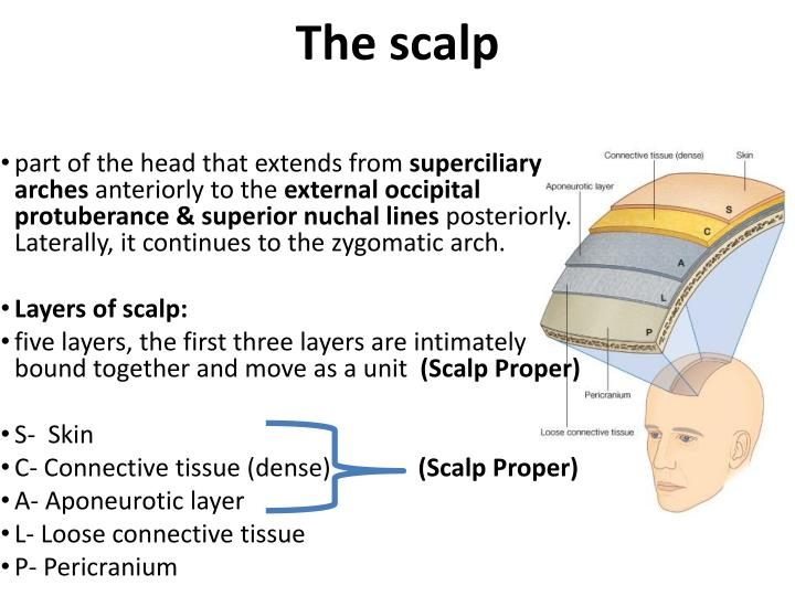 PPT - The Scalp PowerPoint Presentation - ID:1761637