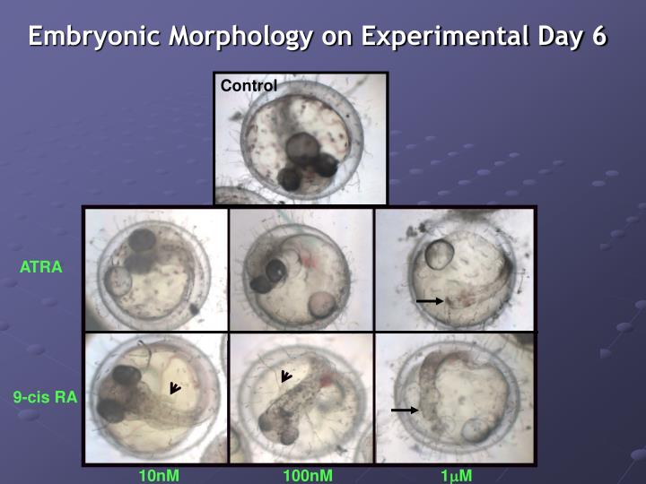 Embryonic Morphology on Experimental Day 6
