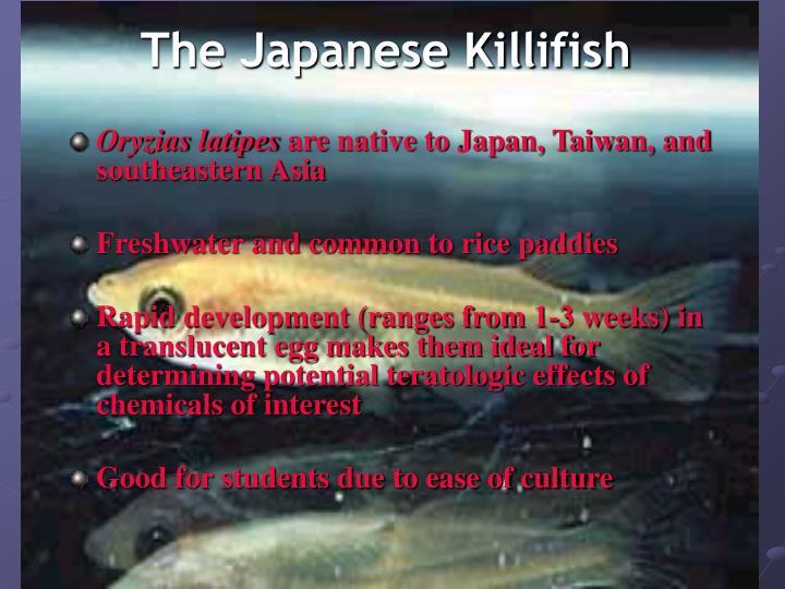 The Japanese Killifish