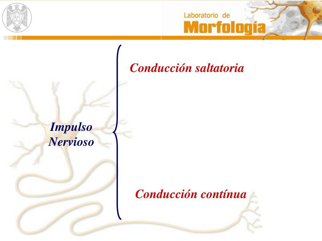 Conduccion saltatoria del impulso nervioso concepto