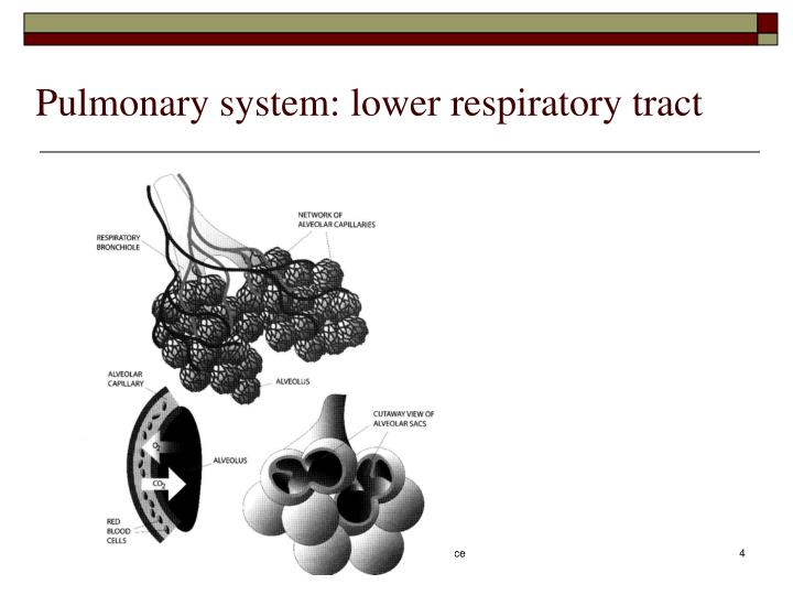 Pulmonary system: lower respiratory tract