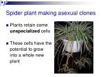 spider plant making asexual clones