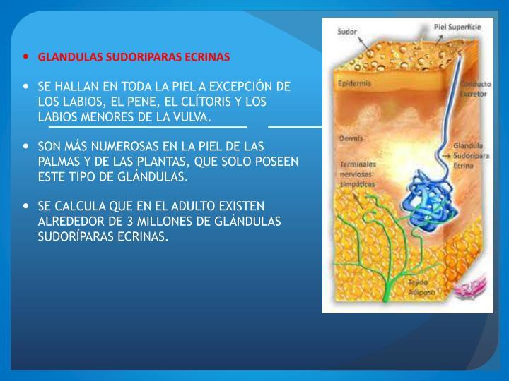 PPT - SISTEMA TEGUMENTARIO PowerPoint Presentation - ID:1772513