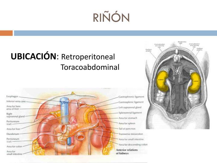 PPT - RIÑÓN PowerPoint Presentation - ID:1772714