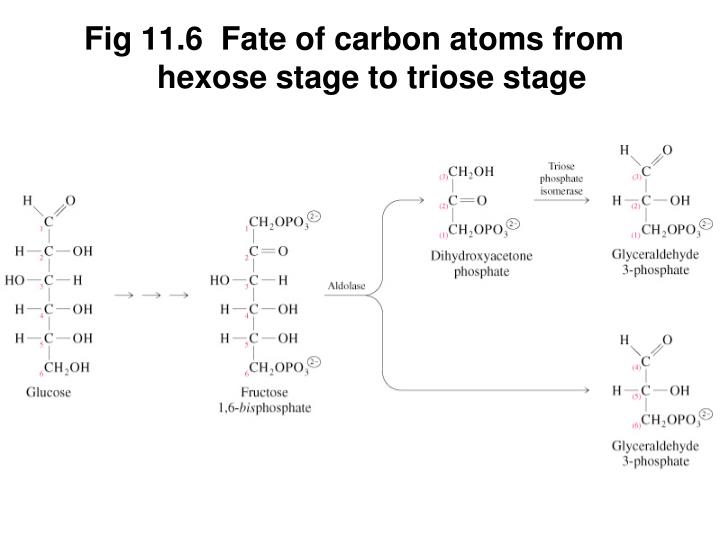 Fig 11.6  Fate of carbon atoms from hexose stage to triose stage