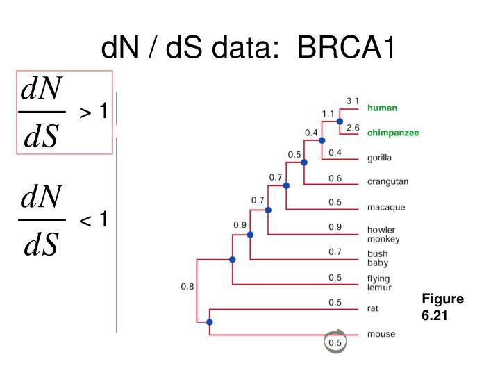 dN / dS data:  BRCA1