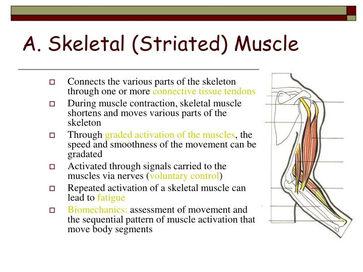 A skeletal striated muscle