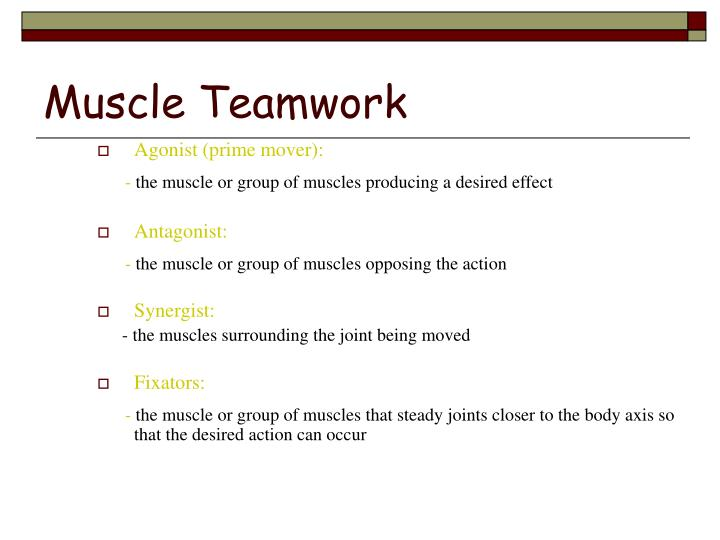 Muscle Teamwork