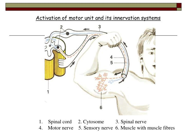 Activation of motor unit and its innervation systems