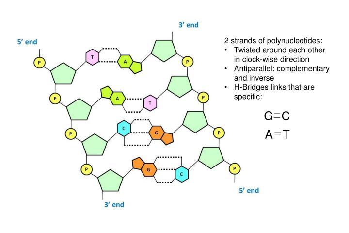 2 strands of polynucleotides: