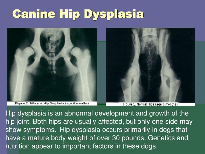 Canine Hip Dysplasia