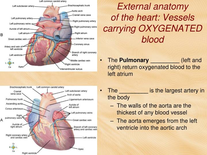 PPT - The Cardiovascular System CHAPTER 8 PowerPoint Presentation ...
