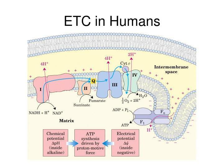 ETC in Humans