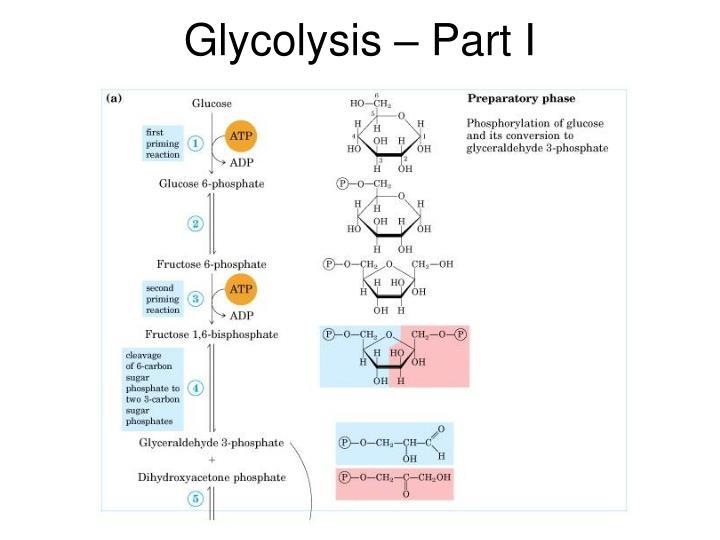 Glycolysis – Part I