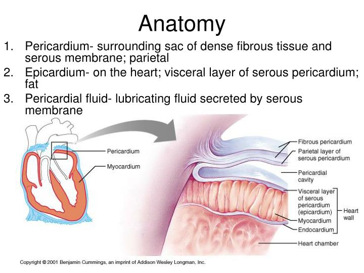 PPT - Anatomy of the Heart (Be able to identify the following ...