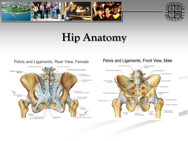 Unique Hip Anatomy Ppt Ornament Anatomy And Physiology Biology